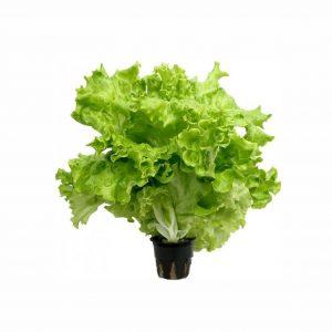 Салат листовой, 1 шт
